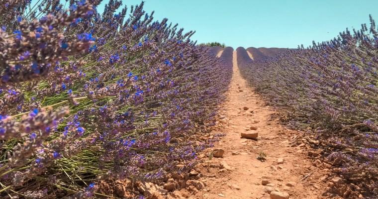 Explorer les champs de Lavande en Provence