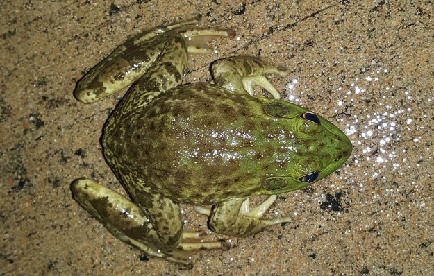 bullfrog-1435127_1280