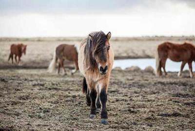 Equine Colic