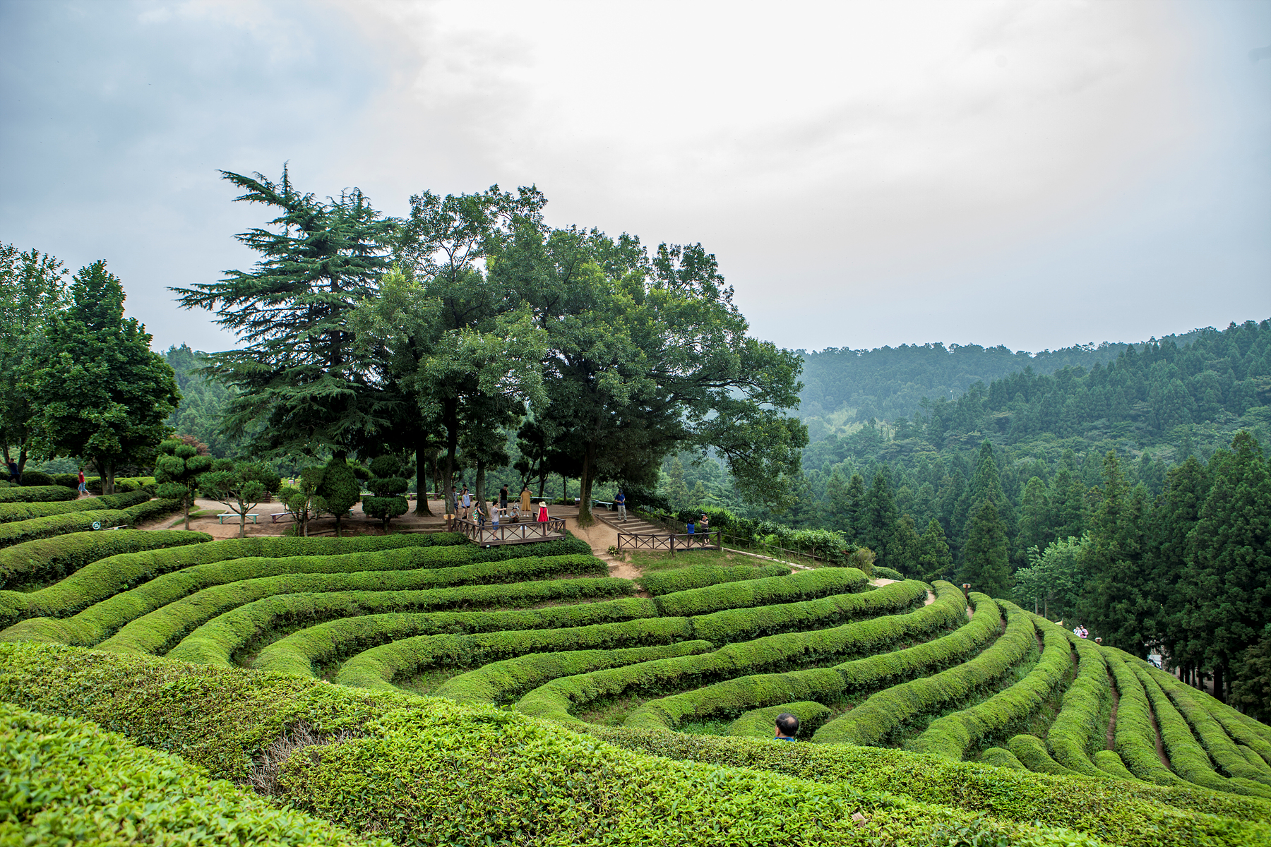 A green tea farm filled with the scent of Boseong_Boseong Dawon Green Tea Plantation
