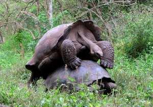 Tortugas gigantes copulando