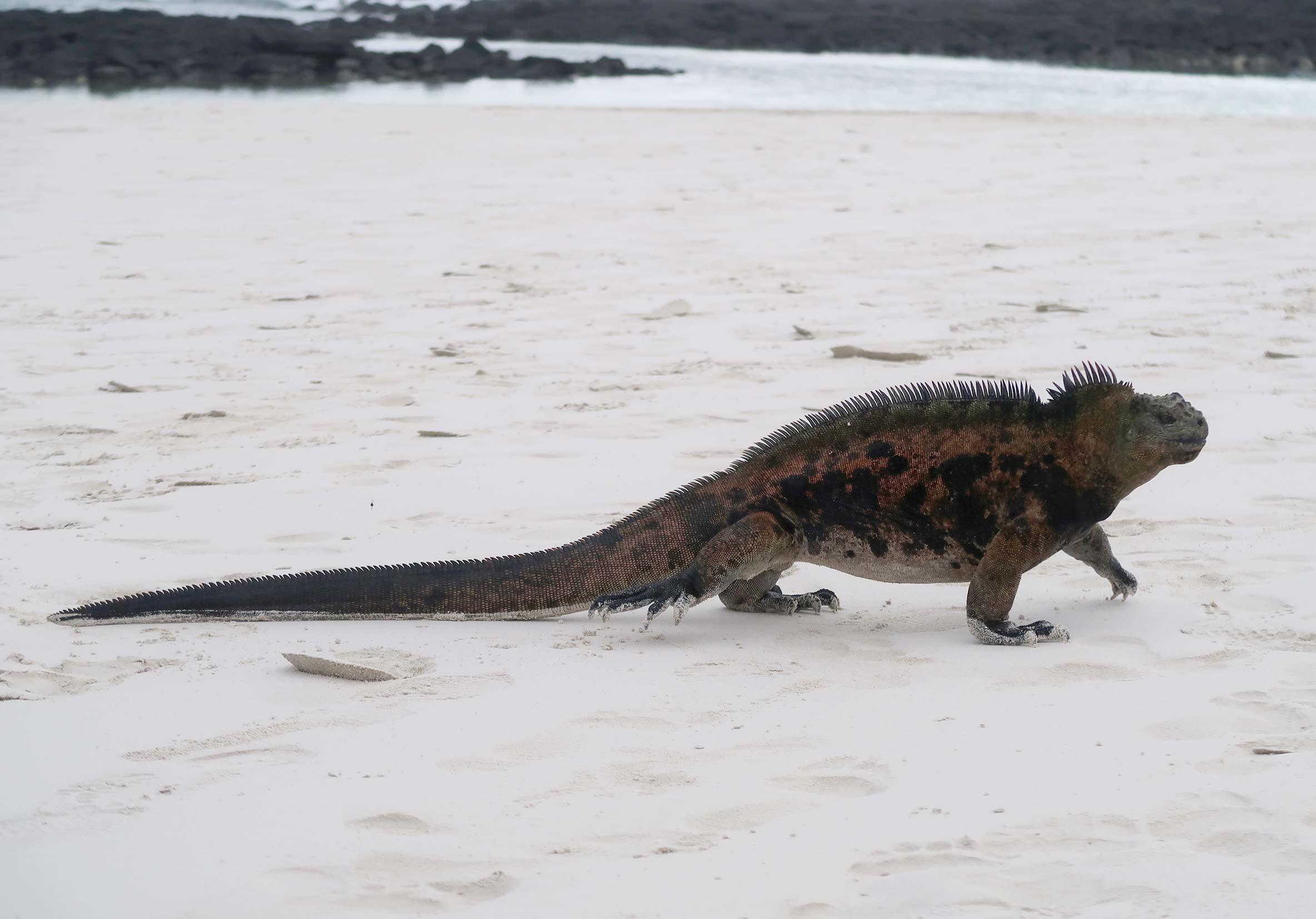 iguanas-marinas-de-galapagos