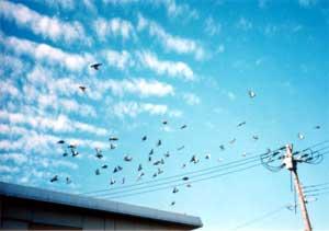 屋根の上の鳩