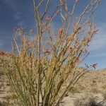 A-B Ocotillo bloom