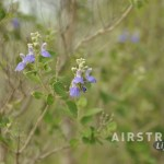 Seminole Canyon wildflowers-5