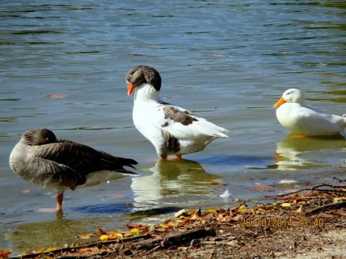 Patos y ocas del Lago