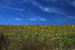 Sunflower Field in Luxembourg