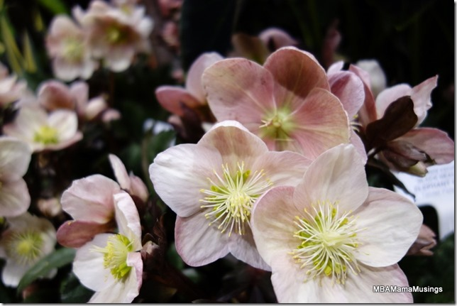 Up close shot of Hellebore