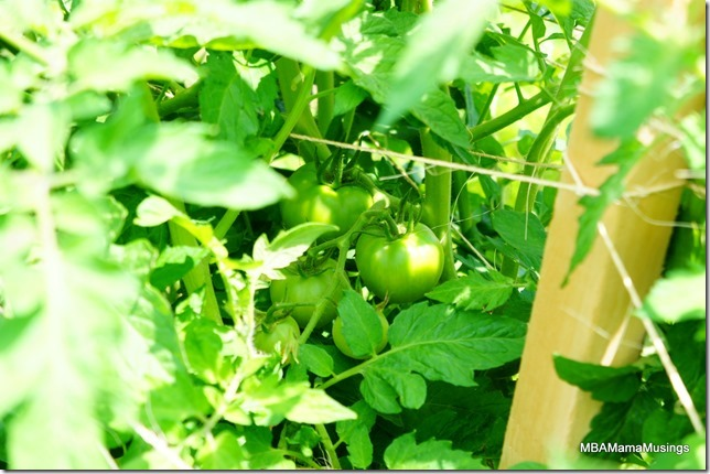 Close up of green tomatoes on a plant
