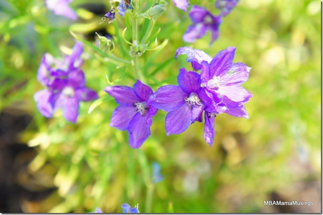Purple fading blue delphinium