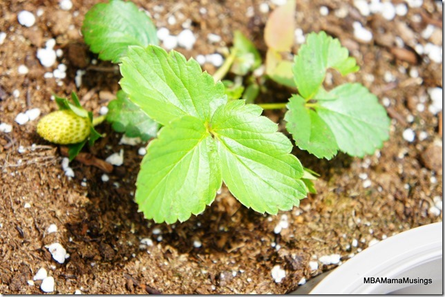 Tiny strawberry plant with one small green strawberry