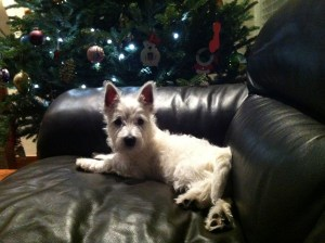 Skye, West HIghland Terrier sitting on a leather couch