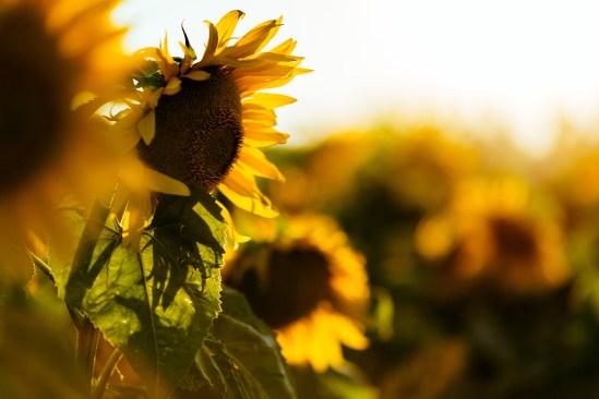 Beautiful yellow sunflower in field and sunshine