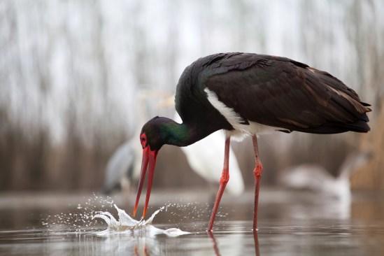 Black stork (Ciconia nigra) fishing on the lake