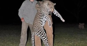 Hunting a leopard