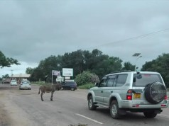 Stray donkeys on the road