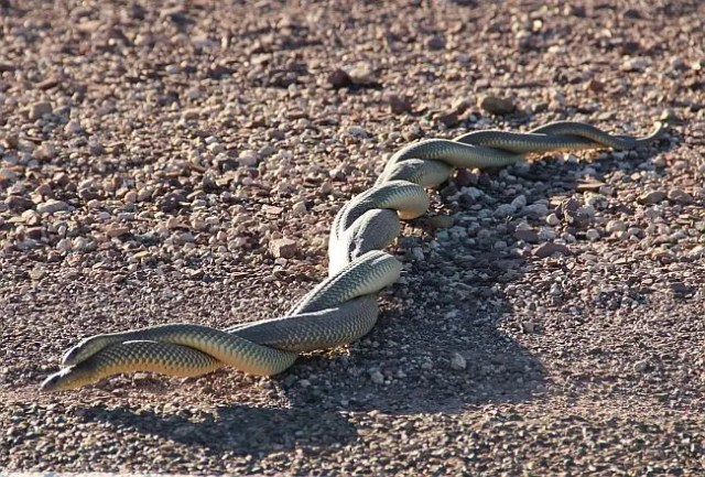 snakes-mating