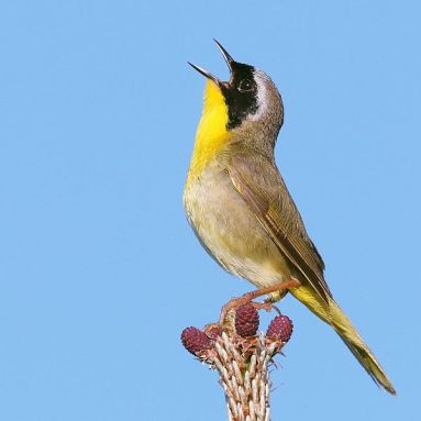 Common Yellowthroat (Geothlypis trichas) by Wolfgang Wander (CCPL)