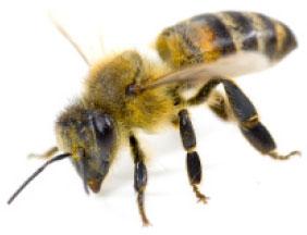 BeesImage