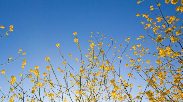 Mustard-seed-header