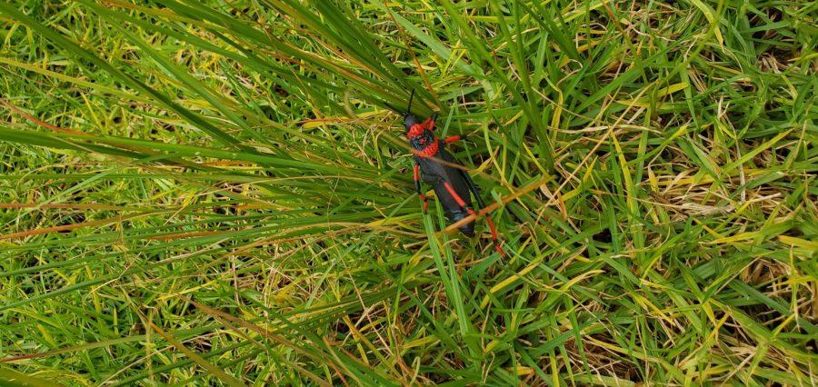 grasshopper in grass photo