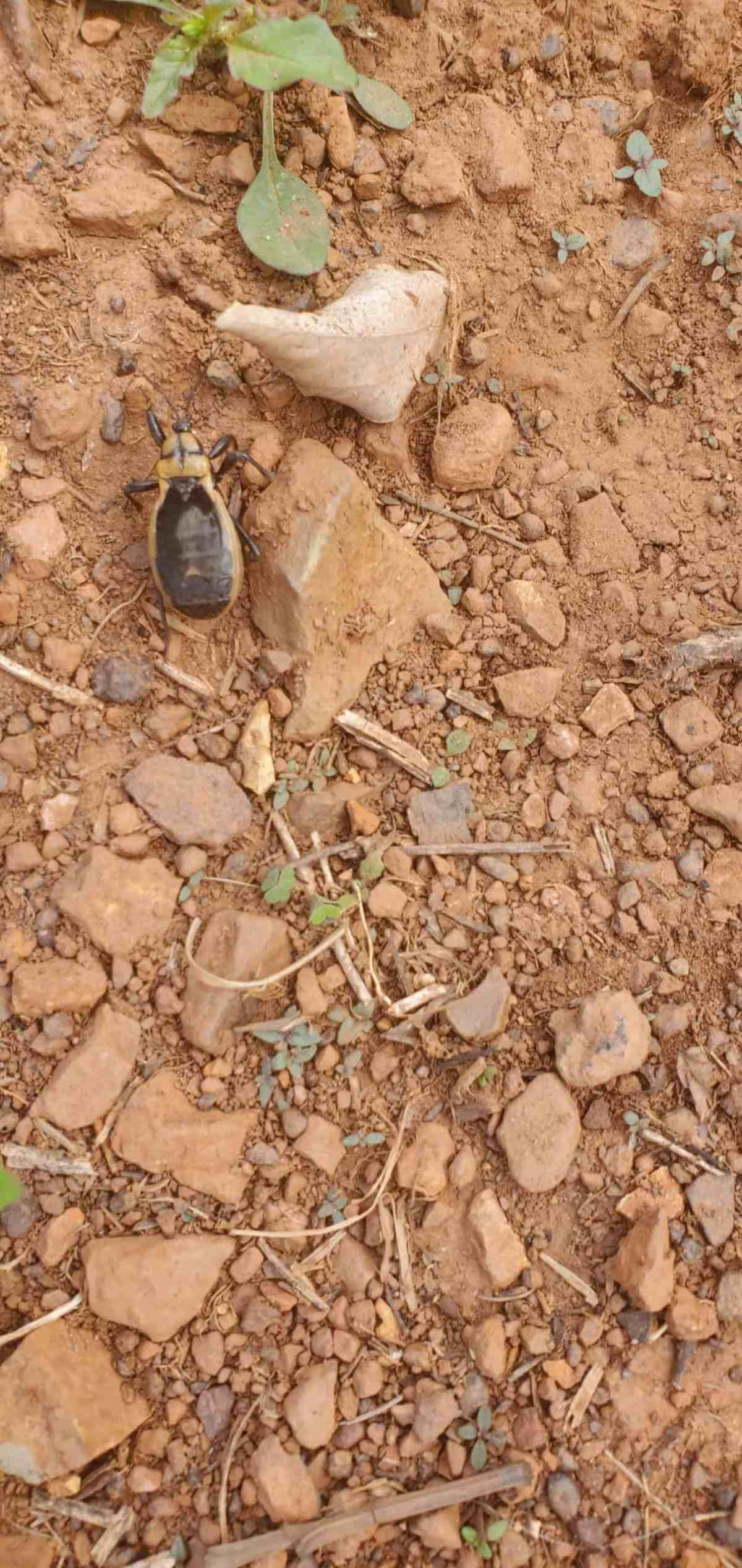 photo of a beetle in vegetable garden
