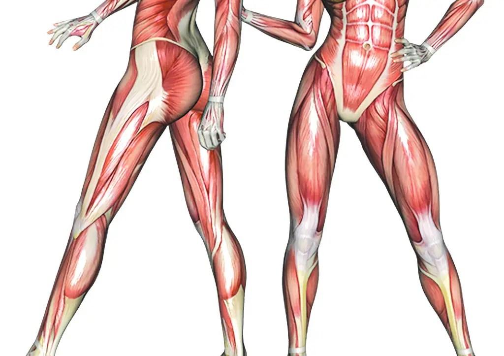 quadriceps, adductors, and hamstring