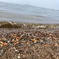 Ante el ecocidio del Mar Menor, MC reclama la aplicación del artículo 155 de la Constitución y que se retiren las competencias medioambientales al Gobierno regional