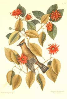 Chatterer, 1731-43, Mark Catesby, Hand-colored etching