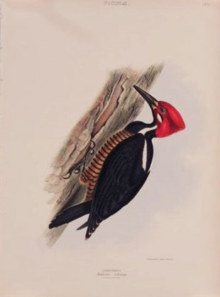 Crimson-headed Woodpecker, by George Robert Gray