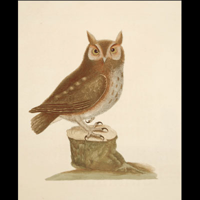 Screech Owl, 1731-43, Mark Catesby, Hand-colored etching