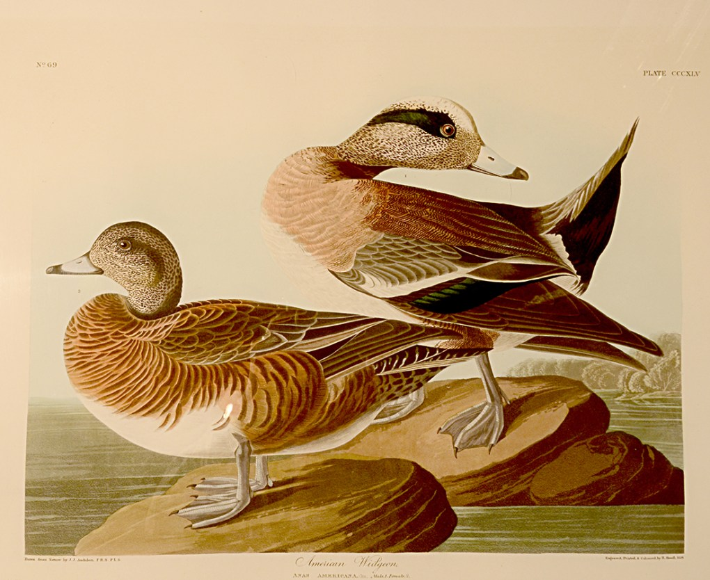 American Widgeon, Anas americana, hand colored aquatint engraving by Robert Havell, Jr. after John James Audubon