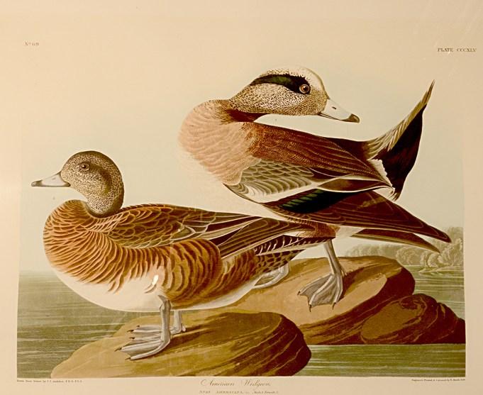 American Widgeon, Anas americana, hand colored aquatint engraving by Robert Havell, Jr. after John James Audubon