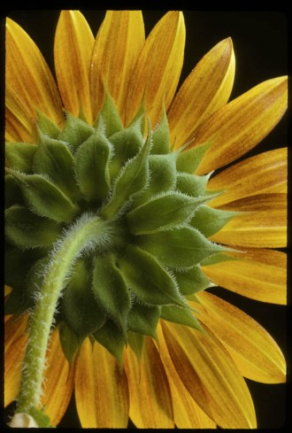 Sunflower (Helianthus annuus), 1995, Alan S. Heilman, 35mm slide, Ektachrome; digital image. The University of Tennessee Libraries, 0394.