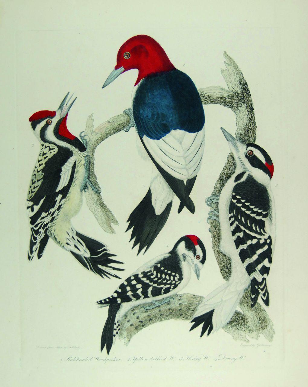 Alexander WIlson woodpeckers