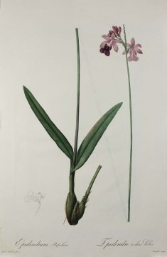 Bilobed Epidendrum, 1802–1816, Pierre-Joseph Redouté, Hand-colored stipple engraving, from Les liliacées, Volume 2, Plate 84. Gift of W. Graham Arader III 2015.13.5