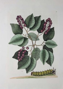Pigeon-Plum, Horned Devils Caterpillar, 1731–1747, Mark Catesby, Hand-colored engraving, from The Natural History of Carolina, Florida, and the Bahama Islands..., Volume 2, Plate 94, Ardath and Joel E. Rynning Acquisitions Fund 2015.2.2.