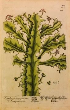 The True Euphorbium, 1757-1773, Christopher Jacob Trew, after Elizabeth Blackwell, from Herbarium blackwellianum, Nuremburg, Plate 339, Gift of John Glynn, 2016.7.10.