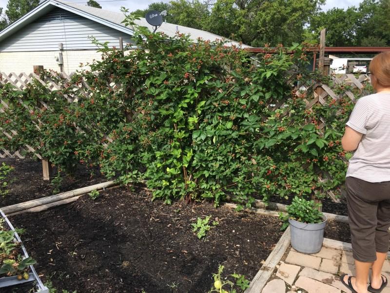 Blackberries mcclure central