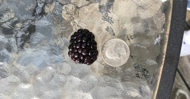 Blackberries big as a quarter
