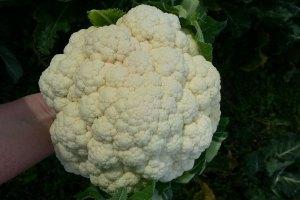 McCollum CSA Cauliflower