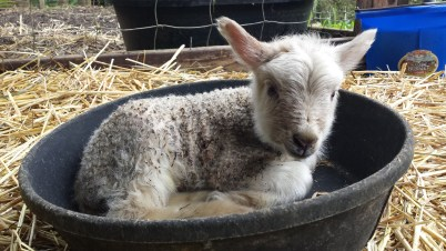 A few hours old and settled in to a jug with mama, and his lamb bed (they love to curl up in these rubber feed pans). I call him TJ. (Terry Junior)
