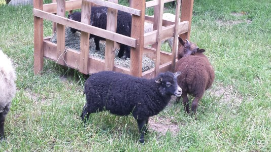 One of my favorites this year. Pebbles' ewe lamb who was so weak as a newborn. She's adorable. Rudy is next to her, and her brother is inside the feeder.