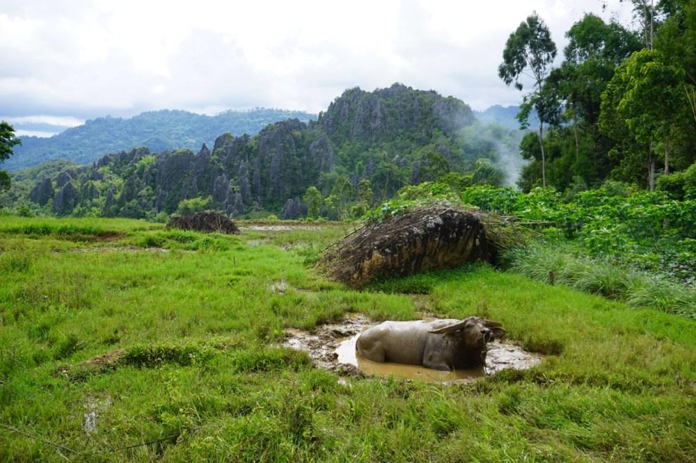 Un buffle se baigne dans un trou d'eau près des rizières du Tona Toraja Sulawesi