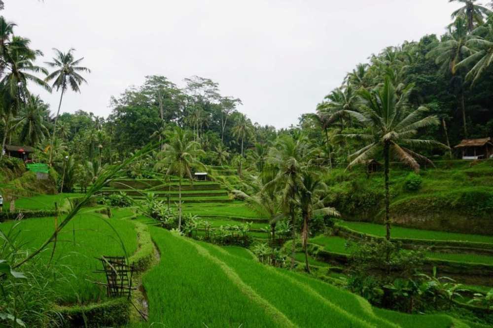 Rizière de Tegalallang, Ubud Bali Indonésie
