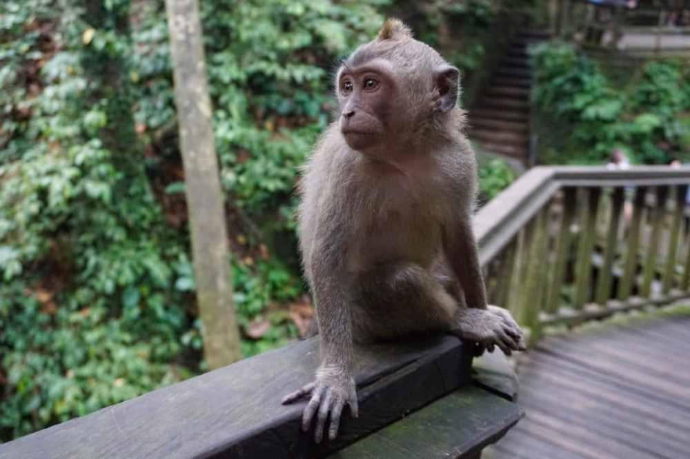Un singe fait la pause dans la Forpet des Singes à Ubud, Bali