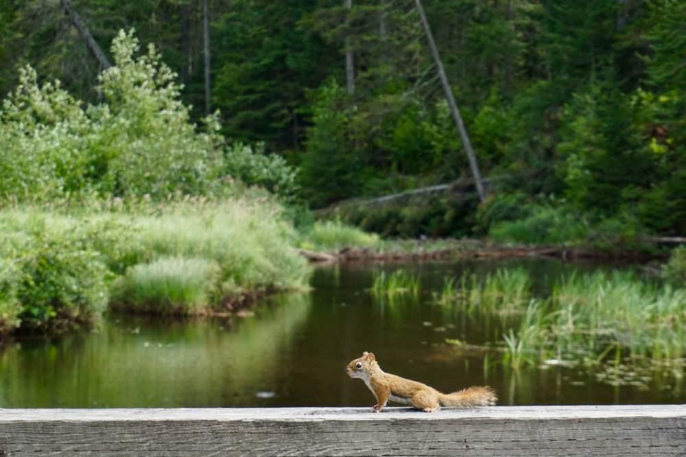 Petit écureuil au bord de la rivière Parc de la Mauricie