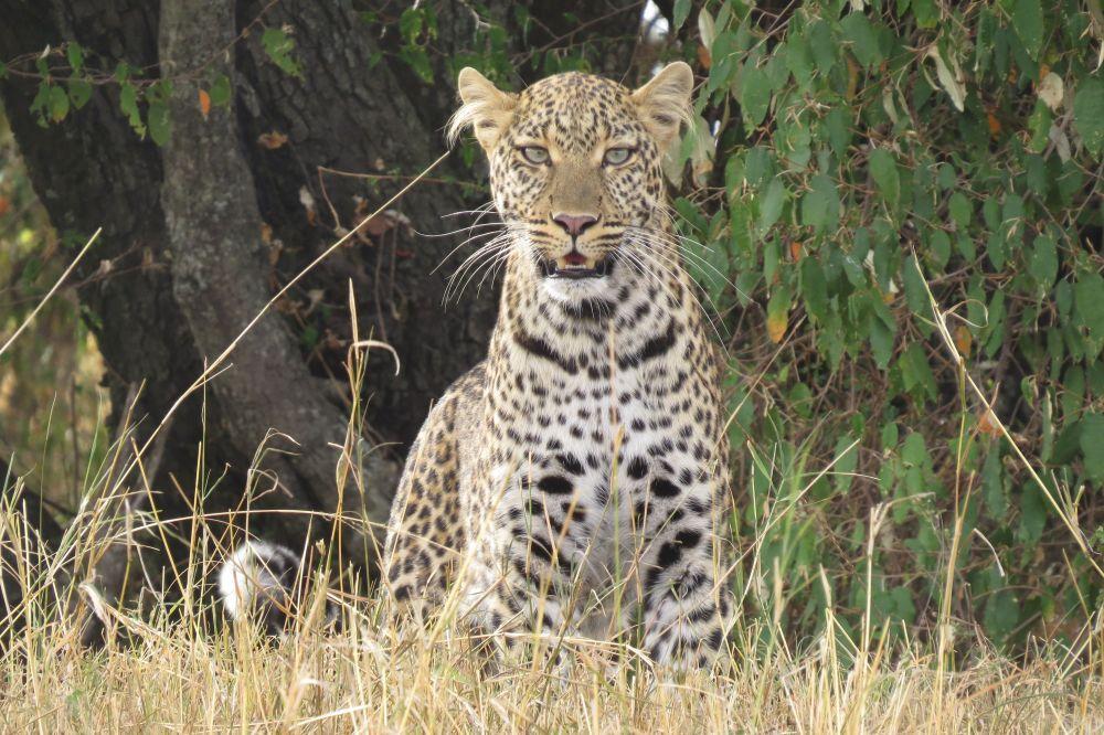 Une maman léopard regarde l'objectif d'un oeil attentif