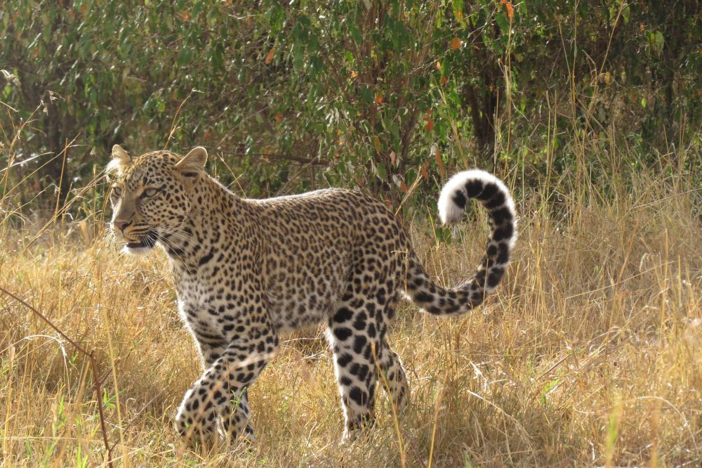 Une maman léopard dans la savane du Kenya