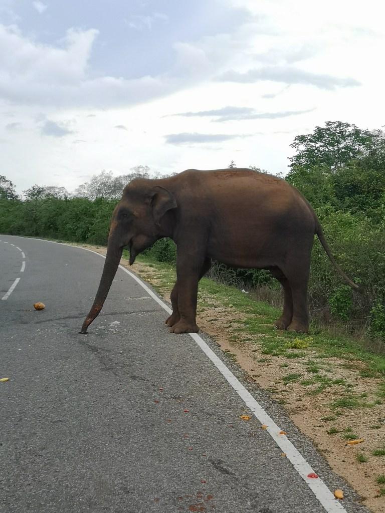 Rencontre éléphant au bord de la route au Sri Lanka